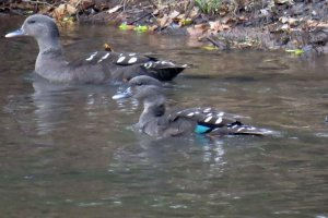 African Black Duck Couple