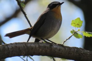 Cape Robin Chat
