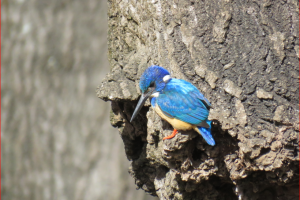 Half -collared Kingfisher