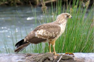 Juvenile African Harrier Hawk