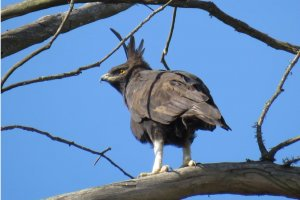 Long Crested Eagle 2