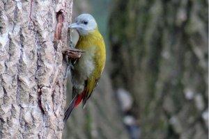 Olive Woodpecker (F)