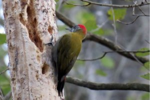 Olive Woodpecker (M)