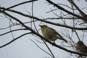 Spectacled Weaver (2)